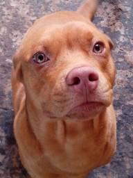 Doação de Cachorro raça Pit Bull