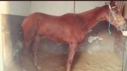 Cavalo alazão, castrado, com Registro!!
