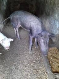 Java porco leitão