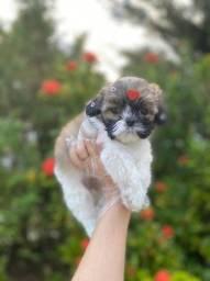 Shih Tzu com suporte veterinário gratuito em clinica propria