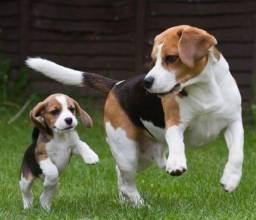 Beagle femea tricolor bebe, fofissimas! Confira!