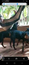 Vendo 03 cachorros  Rottiwailler zap 9  *