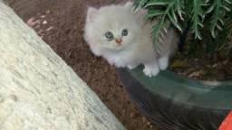 Tenho gatos da raça peça pra vender disponível 1 machimho