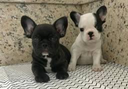 Lindos! MACHO Bulldog Francês