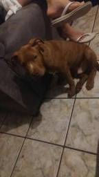 Pit bull red noze
