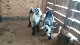 Mini Cabras / filhotes