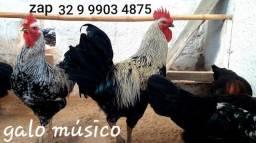 Ovos galados do raro Galo músico cantor e galinhas cantoras! Venda para todo brasil