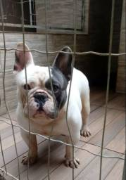 Bulldog frances exotico  disponivel para cruza