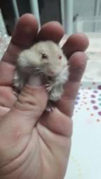 Hamster anão russo para vender.