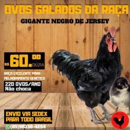 Ovos Galados Gigante Negro de Jersey