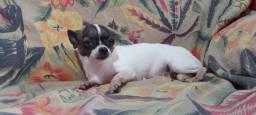 Chihuahua fêmea pc