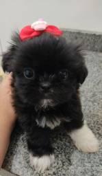 Shitzu mini fêmea com pedigree