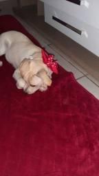 Doação de Cadela - Mestiça (Labrador com Vira-Lata)
