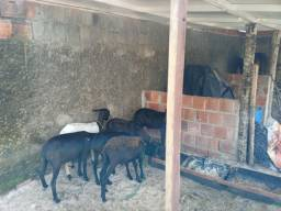 Vende se carneiros