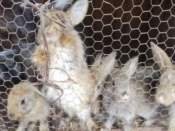 Vendo filhotes de coelho 30 cada