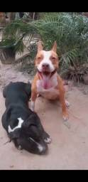 Filhotes de pitbull e american bully machos 1 mês