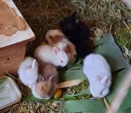 Filhotes de mini coelhos Lions
