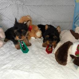 Yorkshire terrier mini Machos TOP