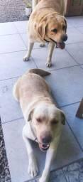 Labrador procura namorada.