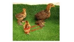Pintinhos e ovos galinha brahma