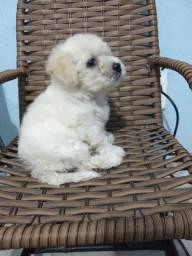 vendo Poodle toy fêmea legítima de pai e mãe !
