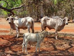 Vendo 2 vacas Brahma