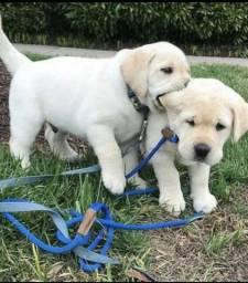Maravilhosos filhotes de Labrador esperando vc aqui