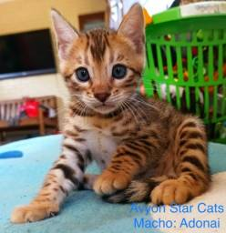 Gato Bengal Macho