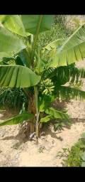 Mudas de Bananeira