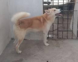 Husky Siberiano/ Macho/ Para Procriar