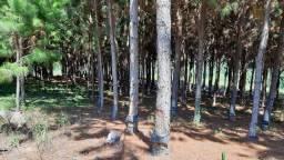 Sitio com Pinus
