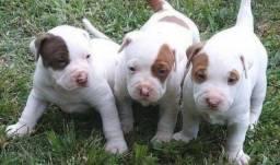 Doação de filhote de pitbull