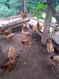 Vendo 23 galinhas Embrapa