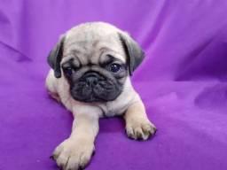 Pugs c pedigree para entregar em fevereiro