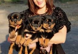 Promoção de dia das mães filhotes de Rottweiler perfeitos
