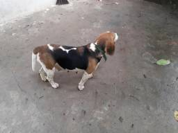 Beagle Inglês v/t