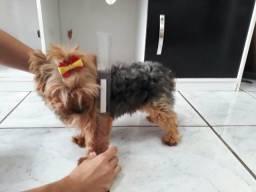 Casal de yorkshire terrier