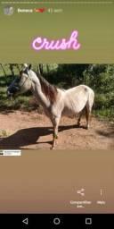 Égua mestiça de campolina