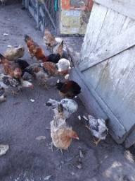 Venda de frangos e ovos caipiras