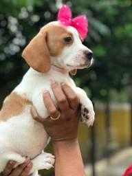 Fêmeas de beagle filhote 13 polegadas com vacina importada