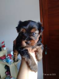Lindo yorkshire terrier machinho!