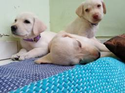 Labrador macho e femea