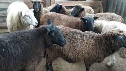 Ovelhas/Reprodutores/ preço  na descrição