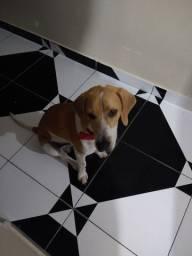 Vendo beagle macho 9 mês