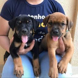 Filhotes de Boxer com Rottweiler