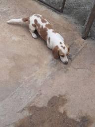 Beagle macho.