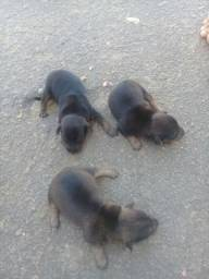 Vende se 3 filhotes de pincher 2 fêmea e 1 macho