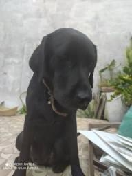 Cadela raça labrador