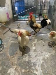 Galos e galinhas da Índia