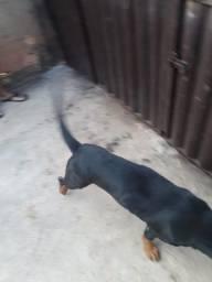 Vendo cachorra rottwaleir adulta
